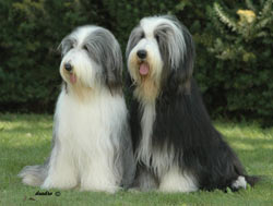 Bearded Collie Firstprizebears Dallas