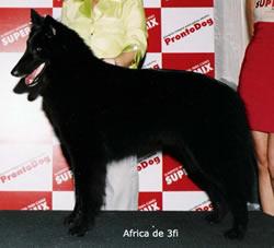 Belgian Shepherd Dog Groenendael Africa de 3fi Female
