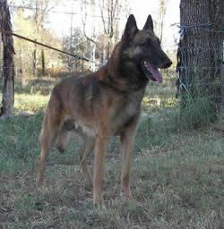 Belgian Shepherd Dog Groenendael Eros