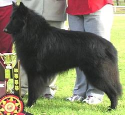 Belgian Shepherd Dog Groenendael Fax