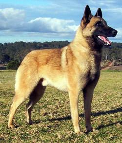 Belgian Shepherd Dog Groenendael