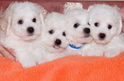 Bichon Frise Puppies at 7 Weeks Old