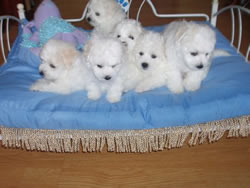 Bichon Frise Puppies at 6 Weeks Old