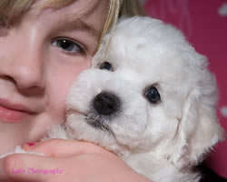 Bichon Frise Puppy at 7 Weeks Old