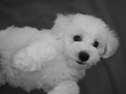 Bichon Frise Puppy at 8 Weeks Old