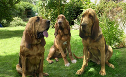 3 Bloodhound Pups