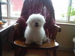 Bolognese Puppy