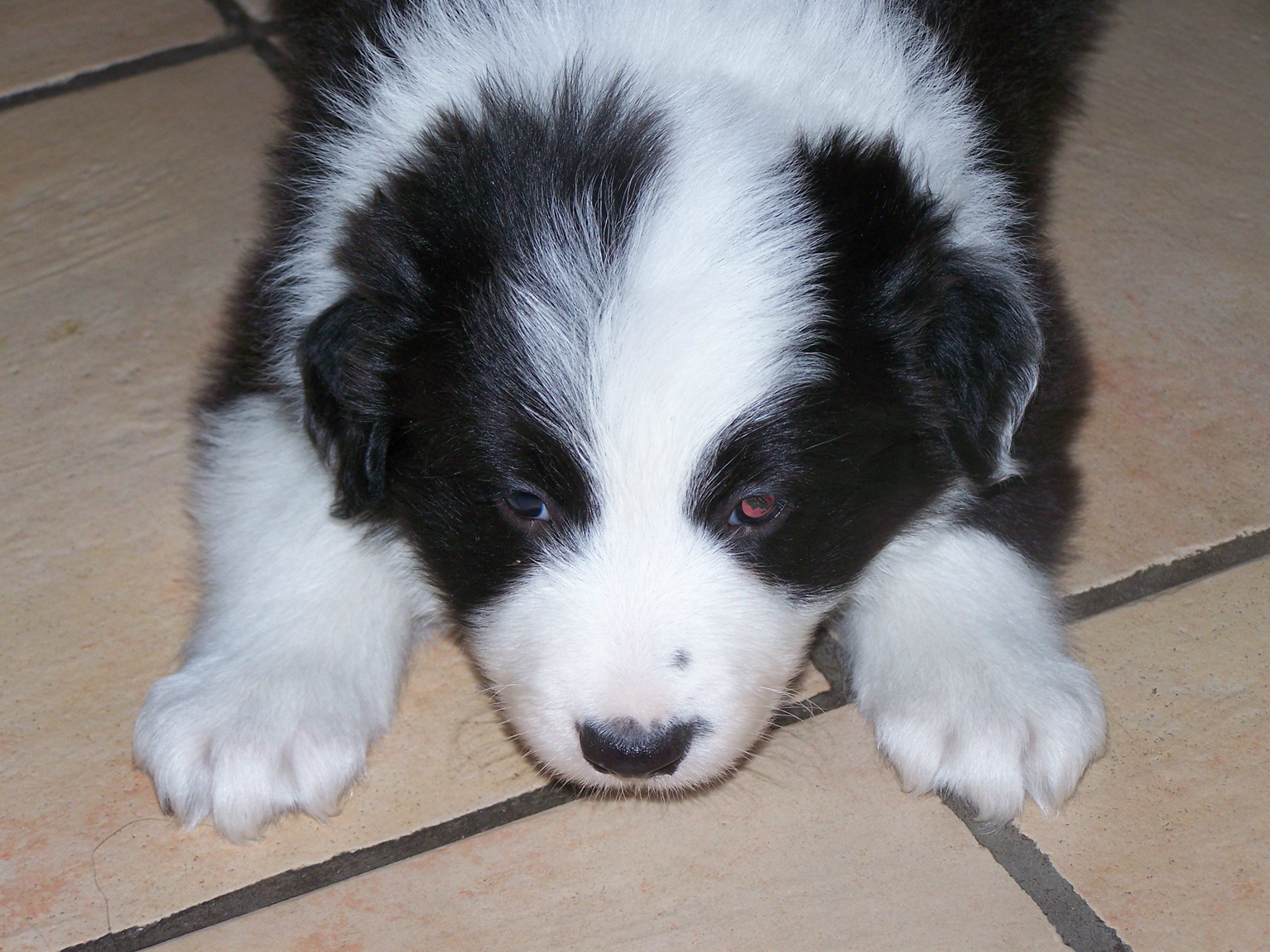 black and white Border Collie Puppy puppy at 5 weeks