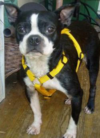 Boston Terrier named Carter