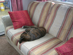 Boxer Puppy Sleeping on the Chair