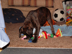 Boxer Puppy Playing with the Dolls