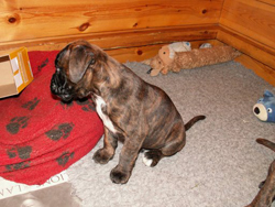 Boxer Puppy Looking at the Cloth