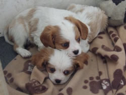 Cavalier King Charles Spaniel Puppies Milo and Darby