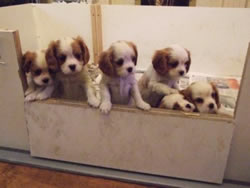 Cavalier King Charles Spaniel Puppies 7 Weeks Old
