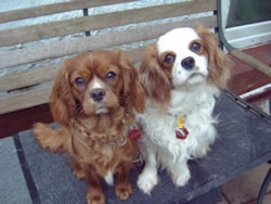 Cavalier King Charles Spaniel Puppies Ellie With Her Daughter Lily a Ruby