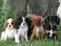 Cavalier King Charles Spaniel Puppies Ellie, Tia and The Cat Zaboo
