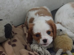 Cavalier King Charles Spaniel Puppy Louis a gorgeous Blenheim