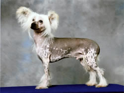 Chinese Crested Dog Robbie