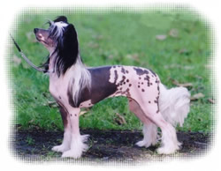 Chinese Crested Dog Ang