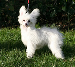 Chinese Crested Dog Purdey