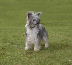Chinese Crested Dog Tinker