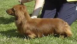 Dachshund Miniature Long Haired