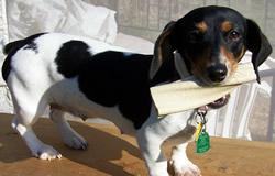 Dachshund Dog Keira