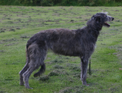 Deerhound Dog