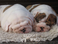 Lola and George English Bulldog Puppies