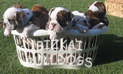 4 English Bulldog Puppies in the Busket