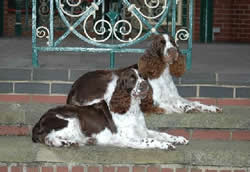 English Springer Spaniel Buddy & Fay