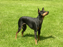 English Toy Terrier Dog