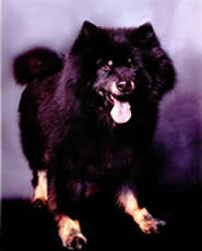 Eurasier Bentley