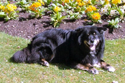 Finnish Lapphund 8 years old