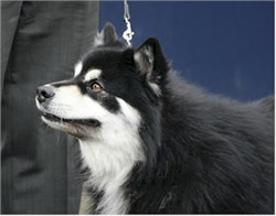 Finnish Lapphund 4 year old