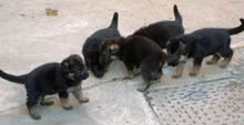 4 German Shepherd Puppies