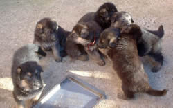 5 German Shepherd Puppies