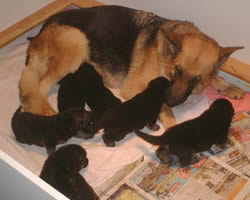 Mother & 2 Weeks old German Shepherd Puppies