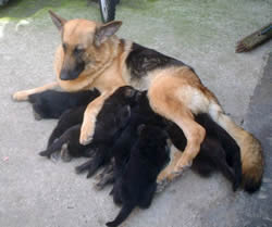 Mother &  German Shepherd Puppies