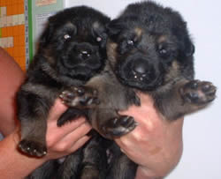 2 Weeks old German Shepherd Puppies, Girls