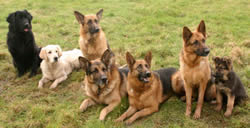 7 German Shepherds