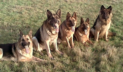 5 German Shepherds at training
