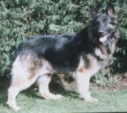 German Shepherd Sugar