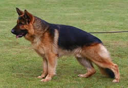 German Shepherds Toro