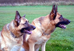Kye and Jess German Shepherds
