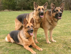 3 German Shepherds