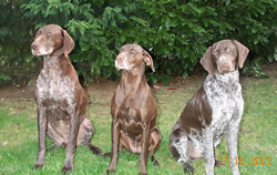 German Shorthaired Pointer blaze,deva,dali