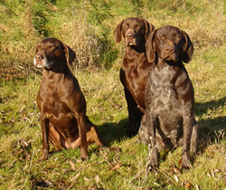 German Shorthaired Pointer Group