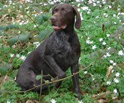 German Shorthaired Pointer Breeze