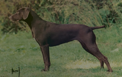 German Shorthaired Pointer Deva